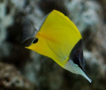 yellow_longnose_butterfly_fish_04-large-content