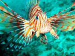 maldives-lion-fish-2