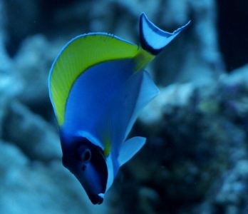 powder_blue_tang_03-large-content