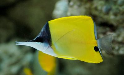 yellow_longnose_butterfly_fish_02-large-content