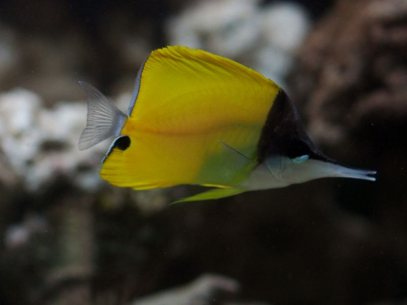 yellow_longnose_butterfly_fish_01-large