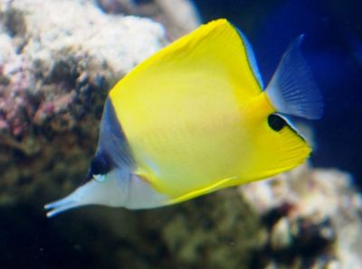 yellow_longnose_butterfly_fish_03-large-content