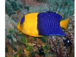 bicolor-anglefish-web-02-content